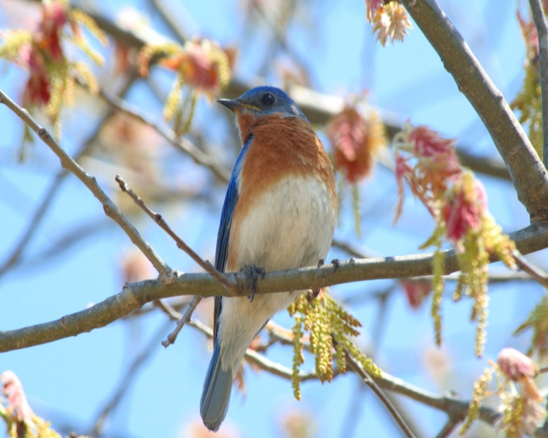 Missouri Blue Bird