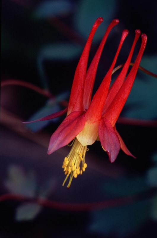 Shannon County Columbine