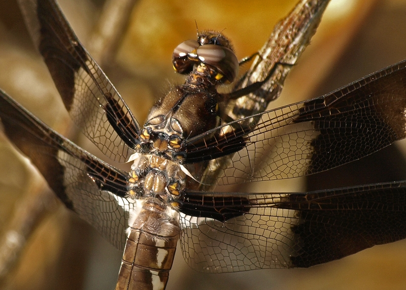 Juvenile Male Whitetail Dragonfly