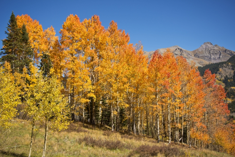 Aspens On Lizard Head Pass