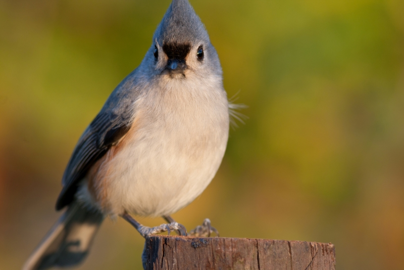 Tufted Titmouse Portrait