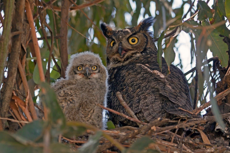 Horned Owl And Baby