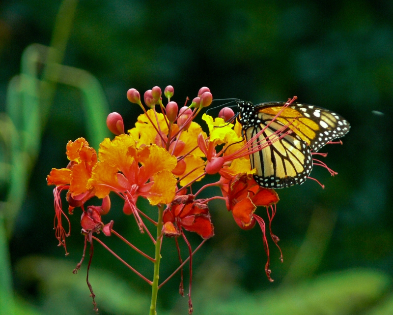 Monarch Butterfly On Pride Of Barbados