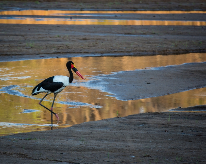 Saddle Backed Stork