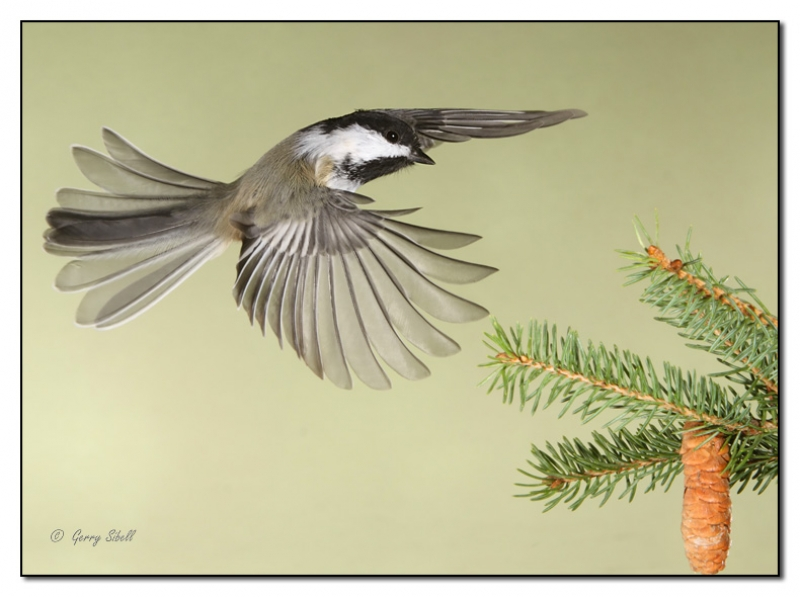 An Afternoon Flight In The Backyard-black Capped Chickadee