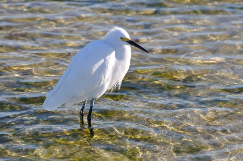 Snowy Egret Walking In The Water