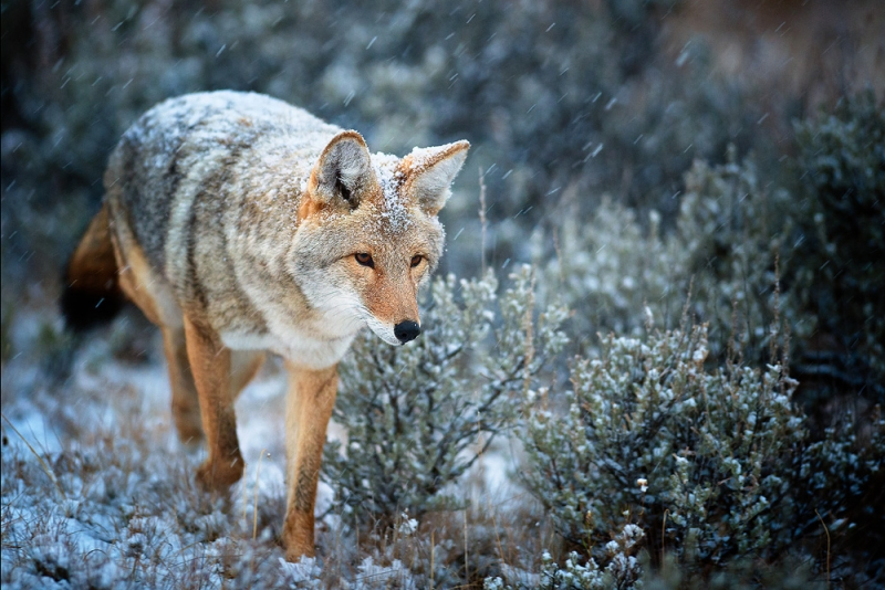 Coyote In A Snowstorm