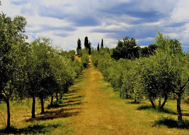 A Walk Through The Olive Trees