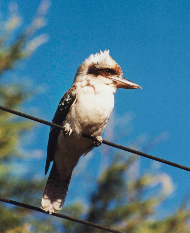 A Kookaburra In The Blue Mountains West Of Sydney