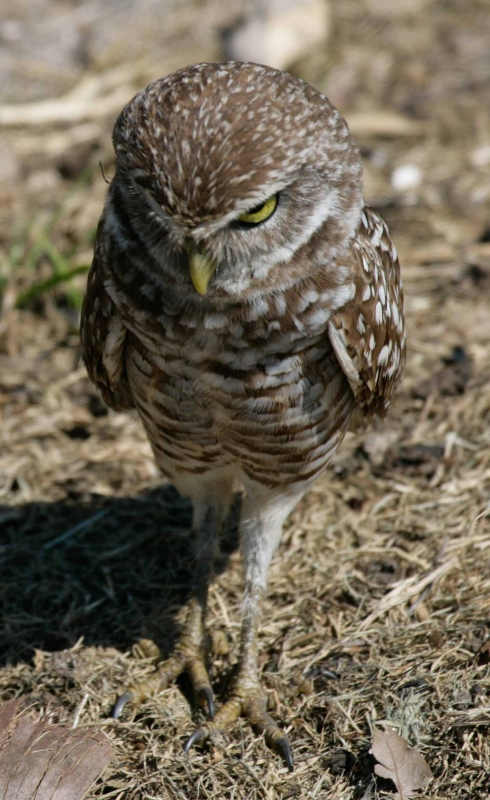 Burrowing Owl Or Serial Killer
