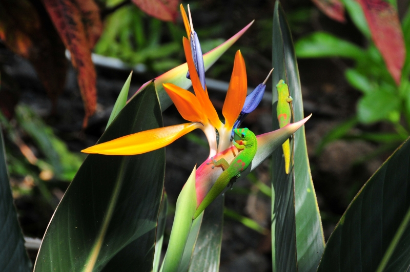 Gecko On Bird Of Paradise