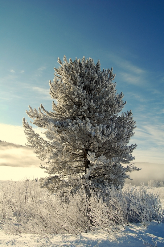 Frosted Pine