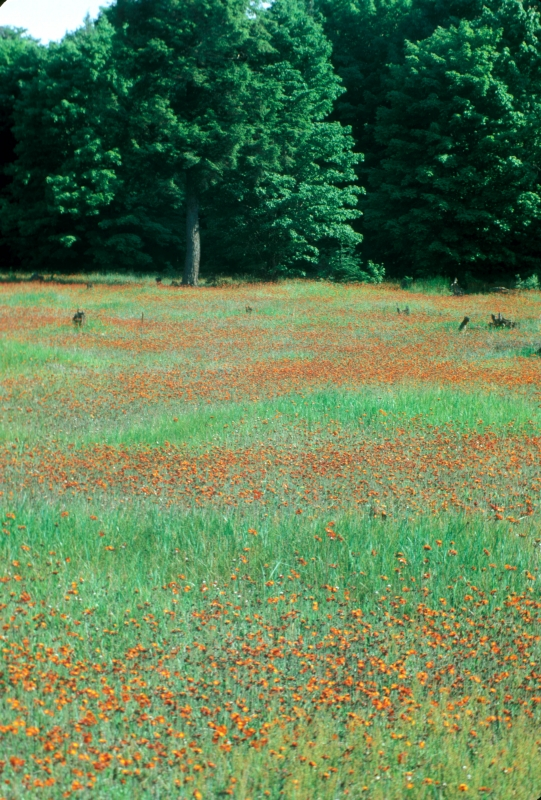 Indian Paintbrush Meadow