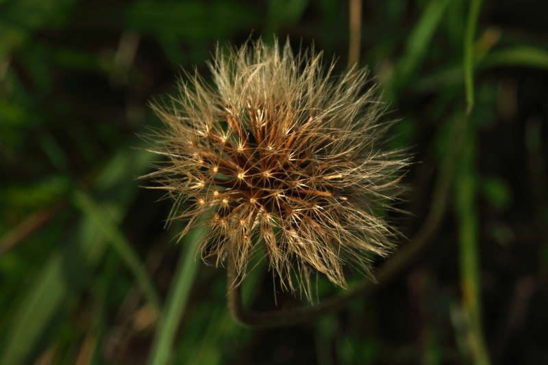 Dried Dandeliion