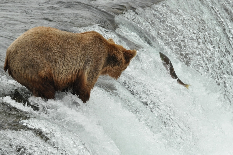 Salmon 1 Brown Bear 0