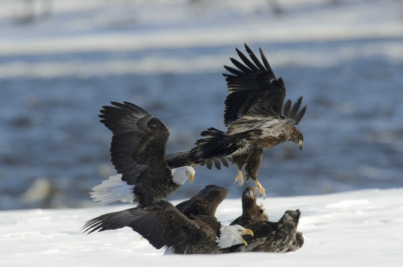 Fight-bald-eagles