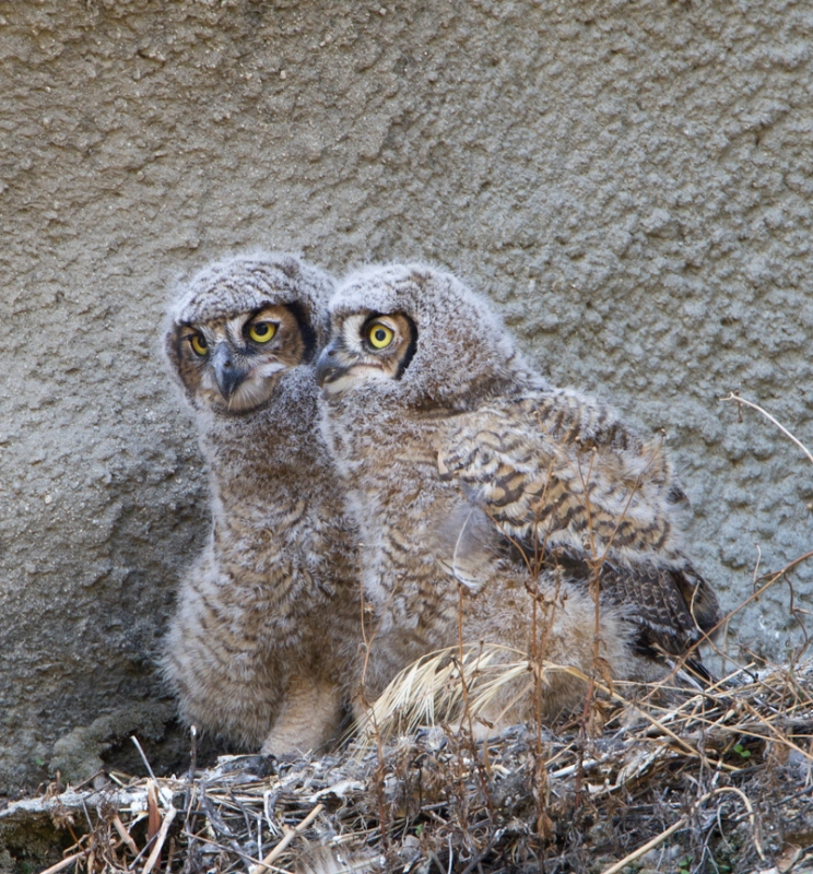Urban Baby Great Horned Owl