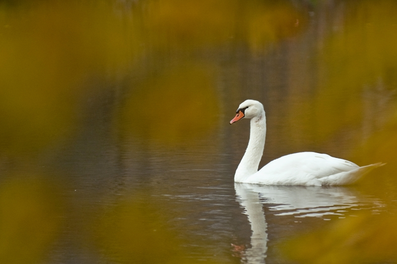 Golden Framed Swan