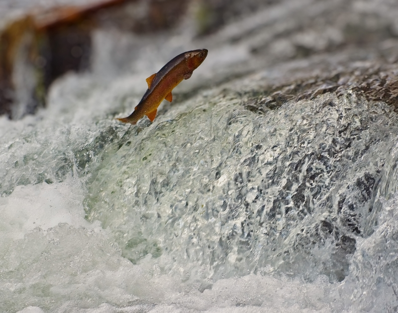 Leaping Rainbow Trout
