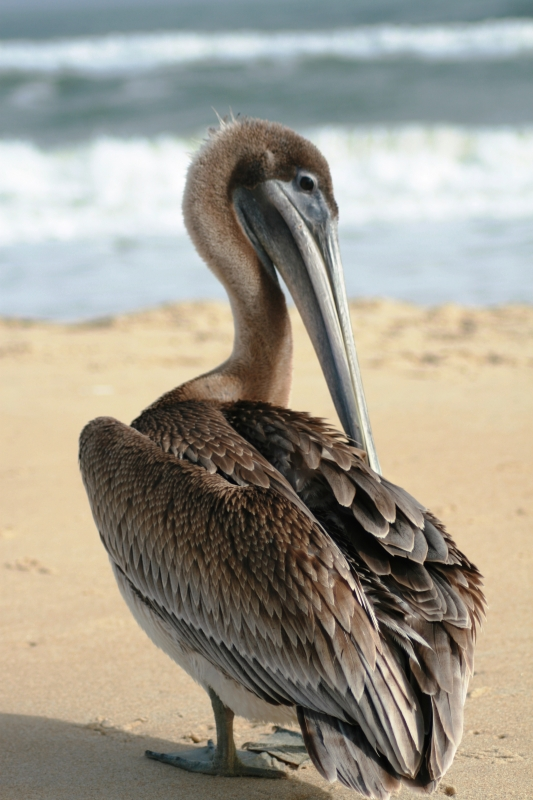 George The Pelican