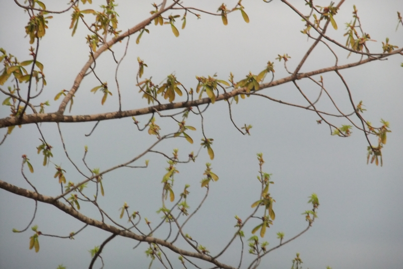 Tree Branches In Early Spring