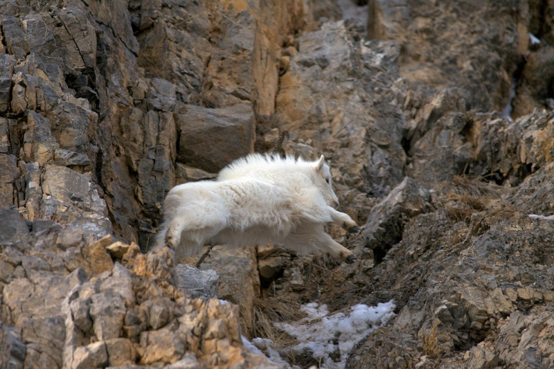 Jumping Mountain Goat