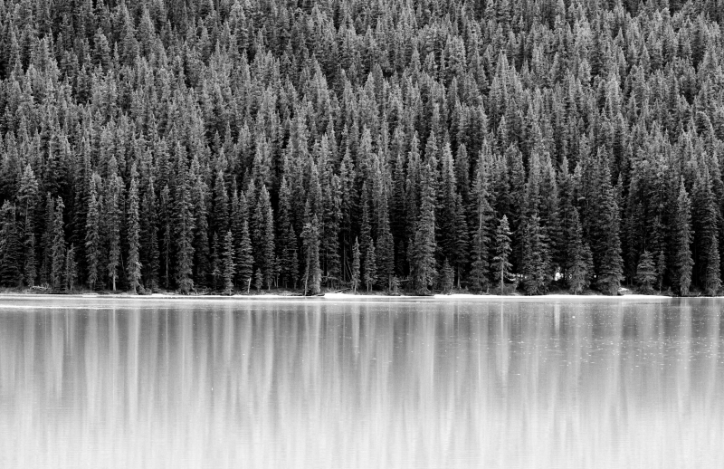 Pine Reflections