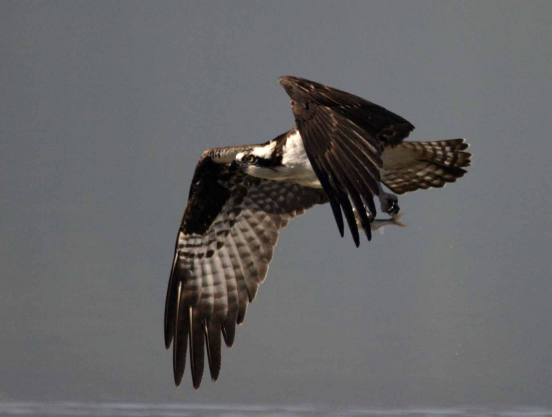 Osprey, Got One!