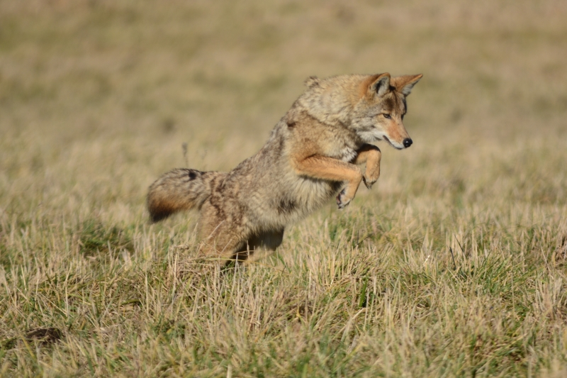 Coyote Leaping Towards Dinner.