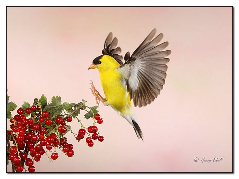 American Goldfinch In Flight Heading For The Currant Bush For A Recharge!
