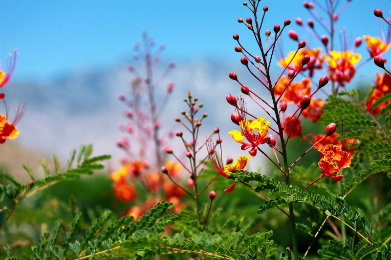 Lantana With Mt. San Jacinto In Background
