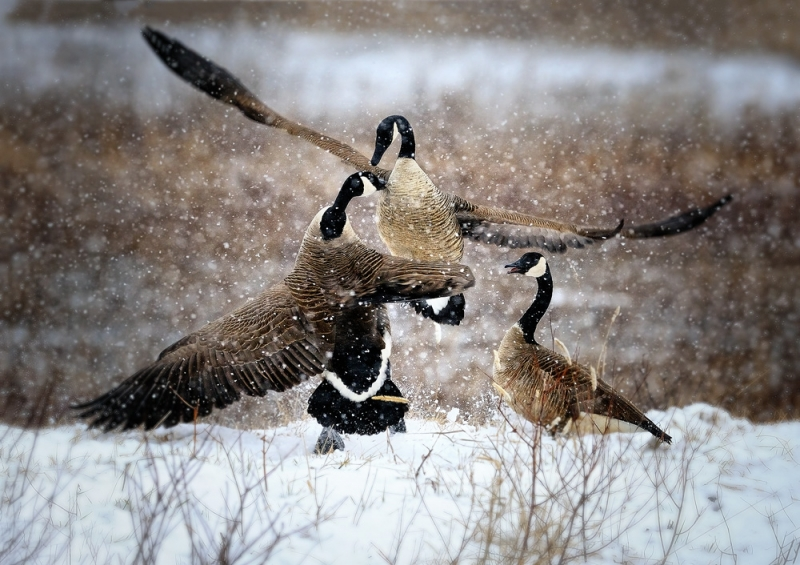 Canada Goose Snowy Fight