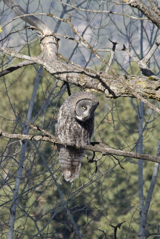 Maclay Flats – Great Gray Owl