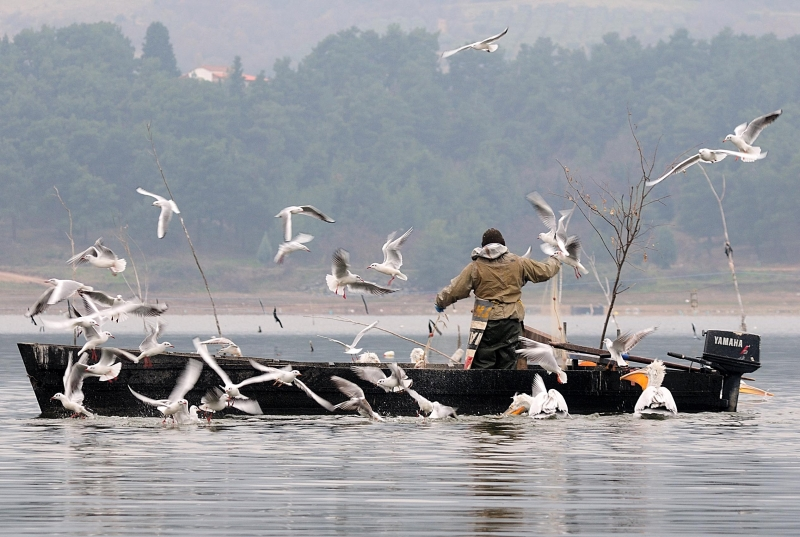 Gulls Around A Fisherman