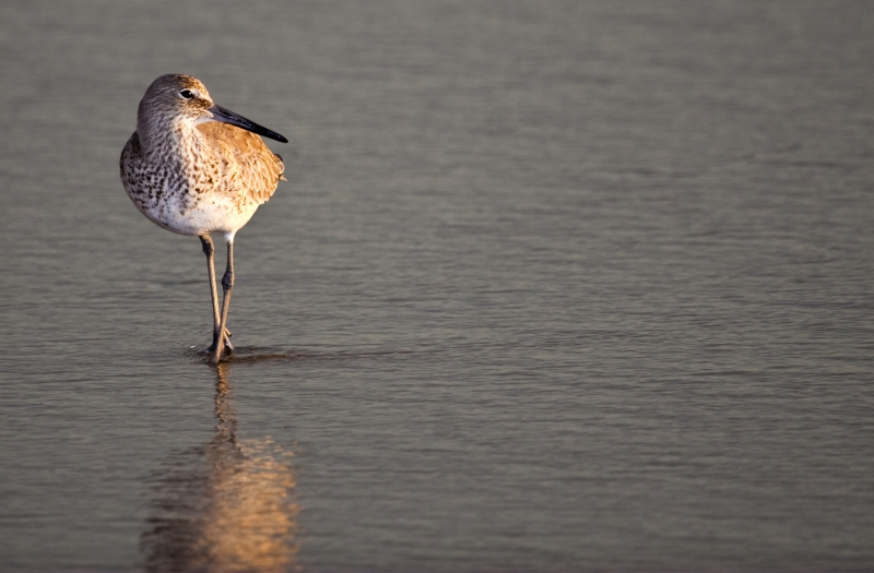 A Willet At Sunrise