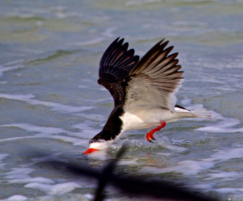 Black Skimmer Fishing On The Gulf Of Mexico