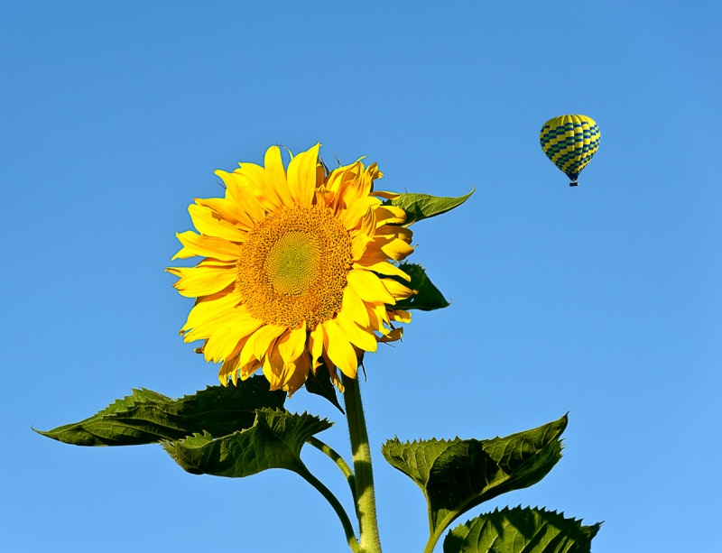 Sunflower And Balloon