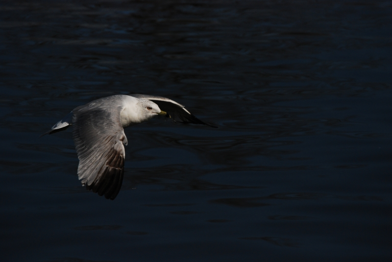 Bird In Flight At Hubbard Park