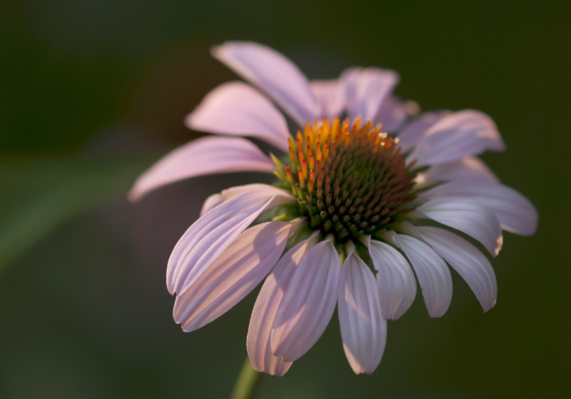 Sunlit Purple Coneflower