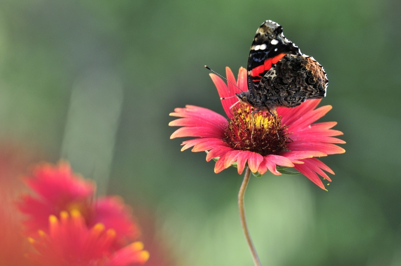 Red Admiral Butterfly On Firewheel Flowers