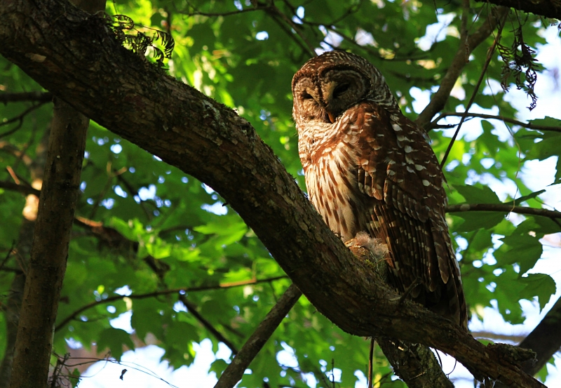 Florida Barred Owl