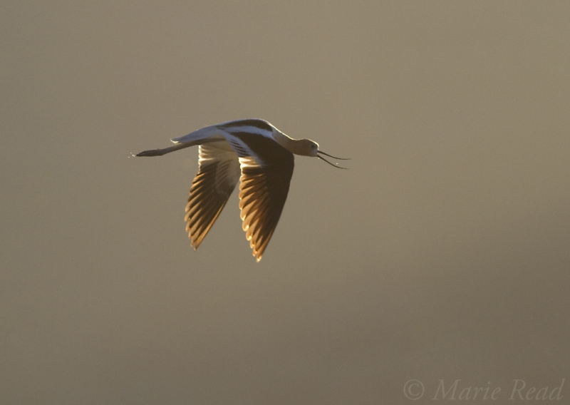 American Avocet Calling In Flight