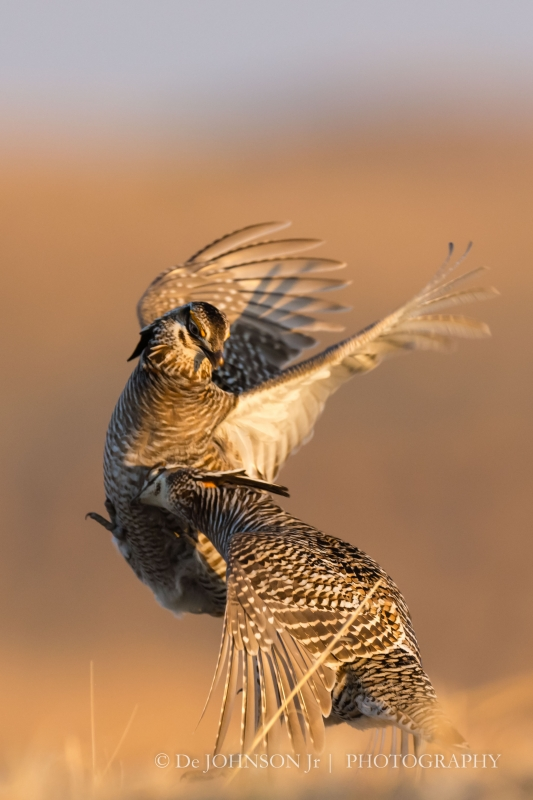 026_here_prairie_chicken_strikes_the_bread_basket