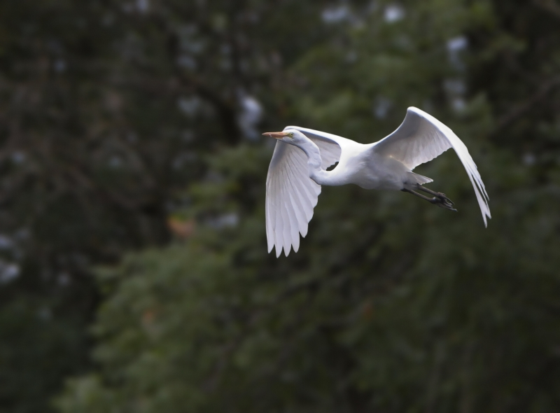 Wild Egret In Flight