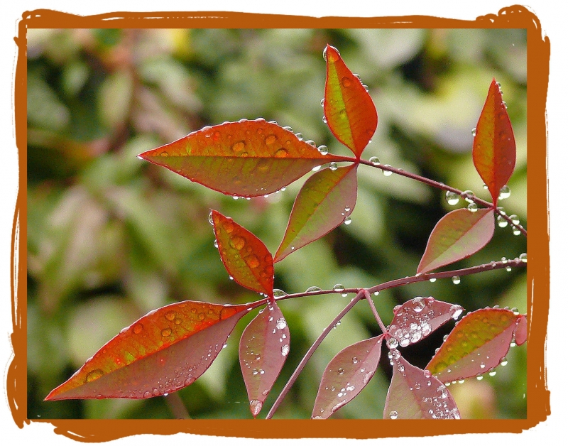 Dew Drops On Nandina
