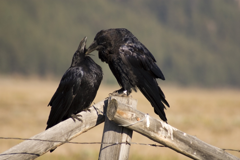 Raven Lovebirds