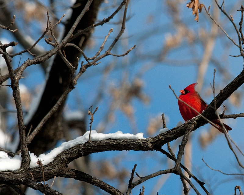 Dallas Winter Cardinal