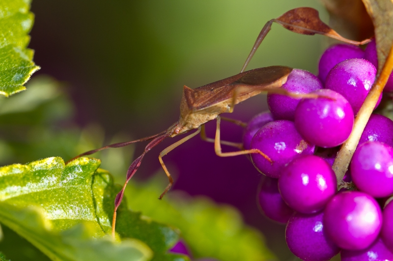 Leaf Insect On Purple Berries