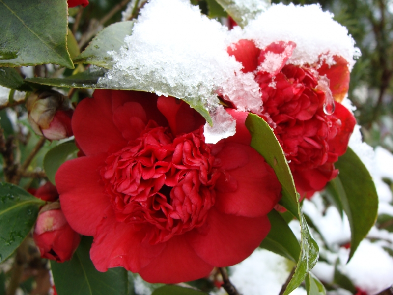 Snow Blossoms