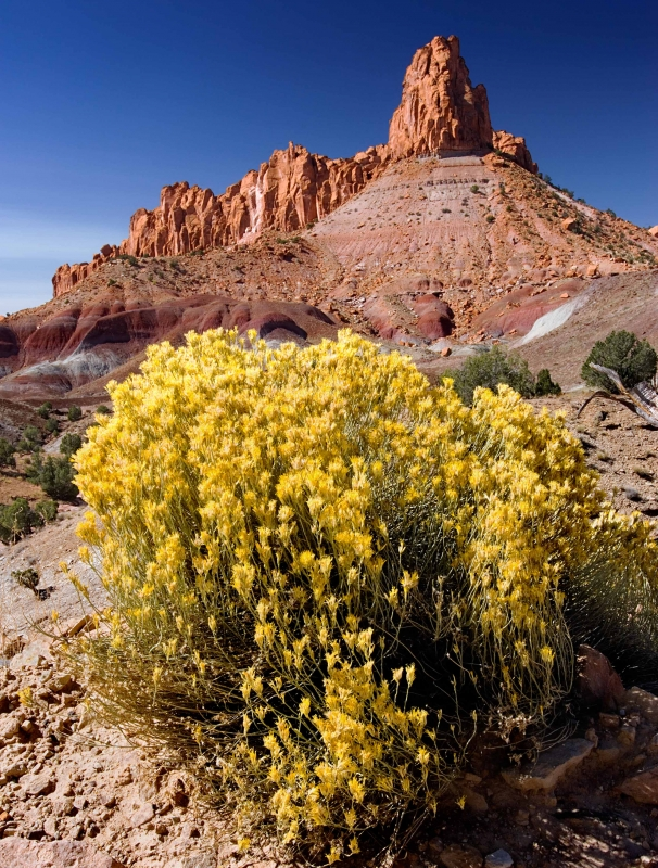 Rabbitbrush And Butte